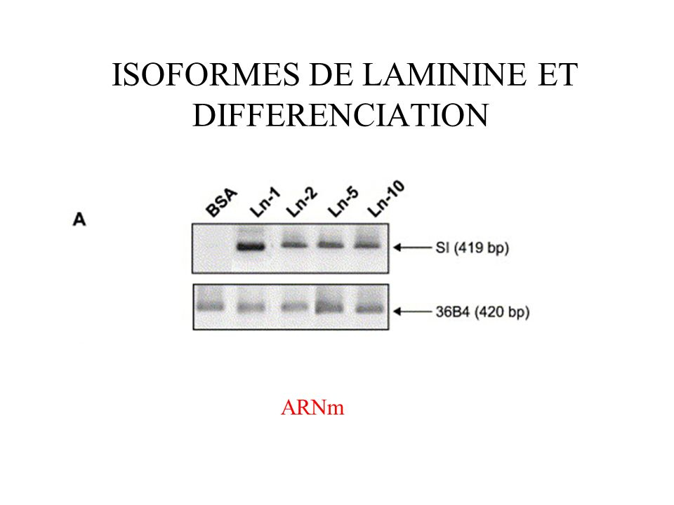 ISOFORMES DE LAMININE ET DIFFERENCIATION