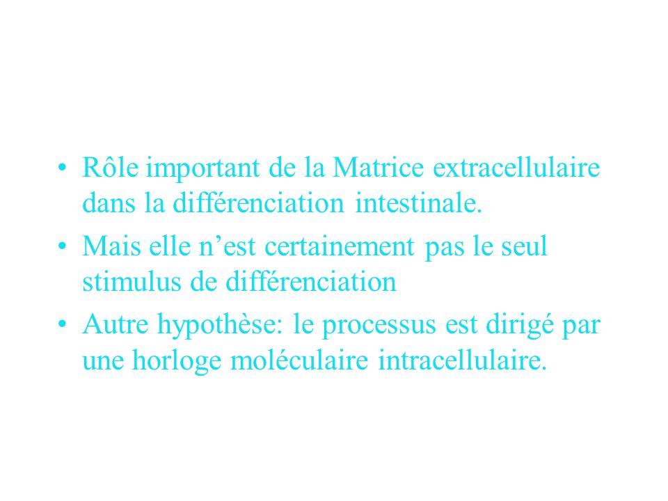 Rôle important de la Matrice extracellulaire dans la différenciation intestinale.