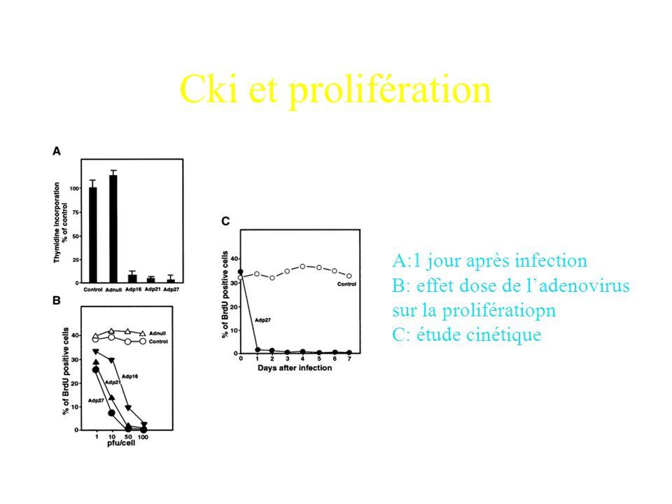 Cki et prolifération A:1 jour après infection