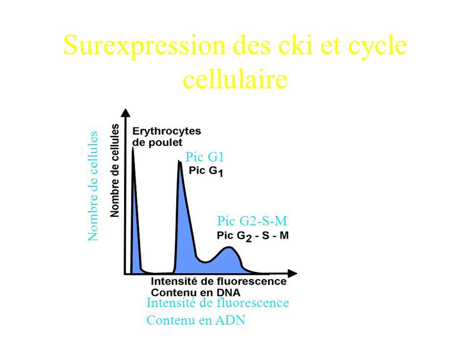 Surexpression des cki et cycle cellulaire