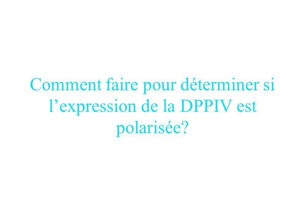 Comment faire pour déterminer si l'expression de la DPPIV est polarisée