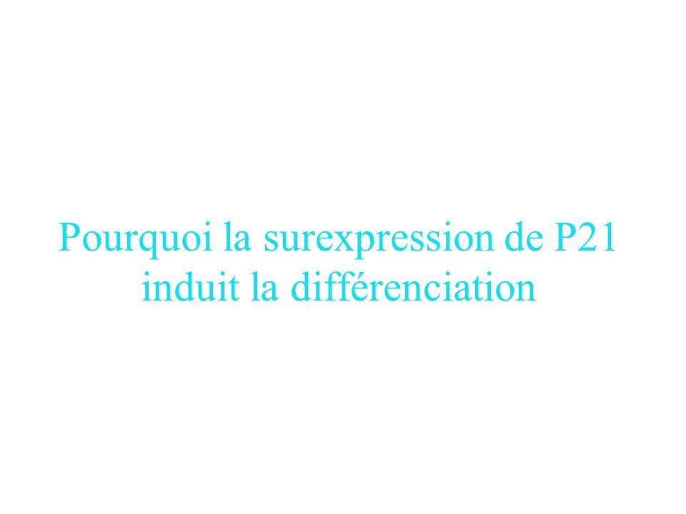 Pourquoi la surexpression de P21 induit la différenciation