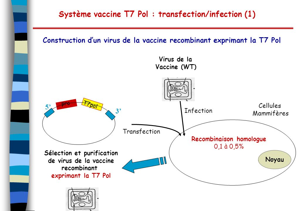 Système vaccine T7 Pol : transfection/infection (1)