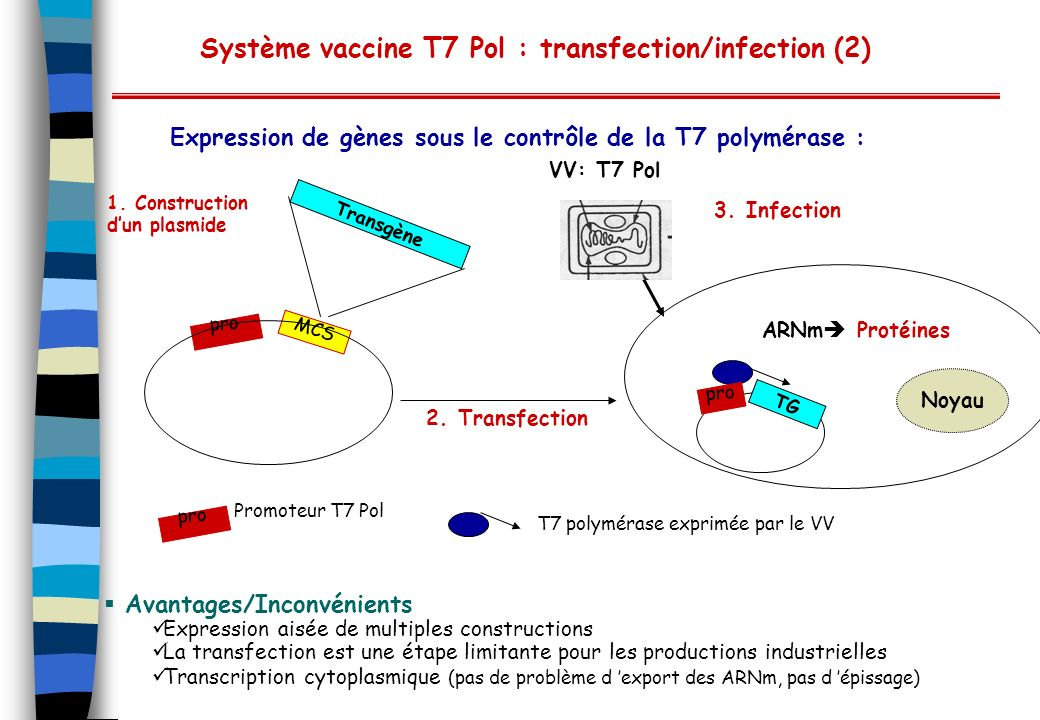 Système vaccine T7 Pol : transfection/infection (2)