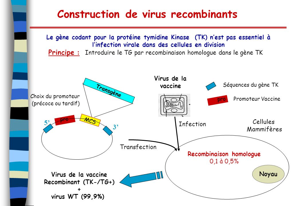 Construction de virus recombinants