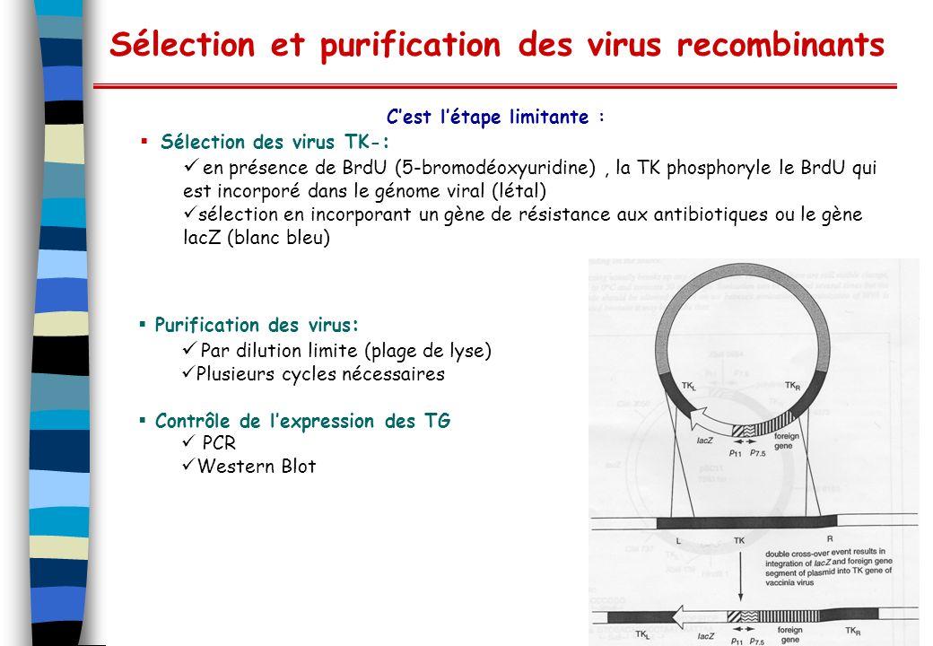 Sélection et purification des virus recombinants