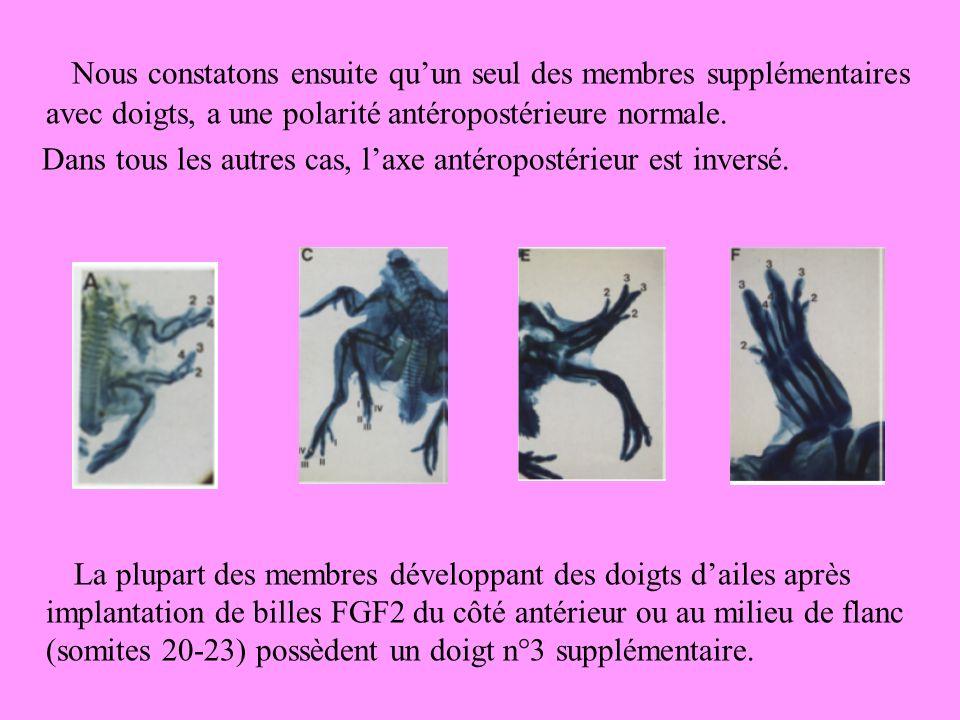 Nous constatons ensuite qu'un seul des membres supplémentaires avec doigts, a une polarité antéropostérieure normale.