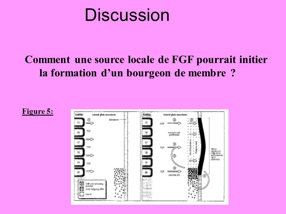 Discussion Comment une source locale de FGF pourrait initier la formation d'un bourgeon de membre