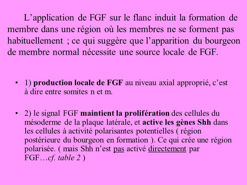 L'application de FGF sur le flanc induit la formation de membre dans une région où les membres ne se forment pas habituellement ; ce qui suggère que l'apparition du bourgeon de membre normal nécessite une source locale de FGF.