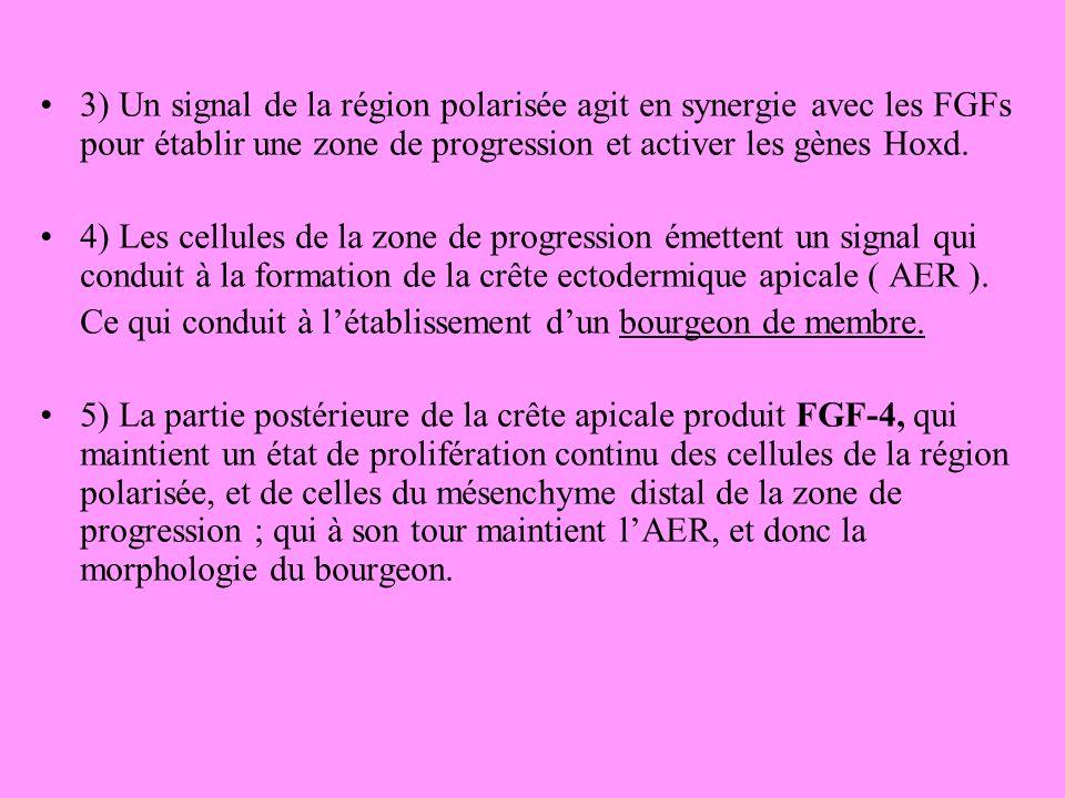 3) Un signal de la région polarisée agit en synergie avec les FGFs pour établir une zone de progression et activer les gènes Hoxd.