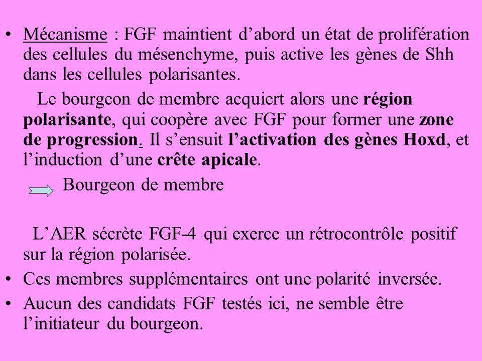 Mécanisme : FGF maintient d'abord un état de prolifération des cellules du mésenchyme, puis active les gènes de Shh dans les cellules polarisantes.