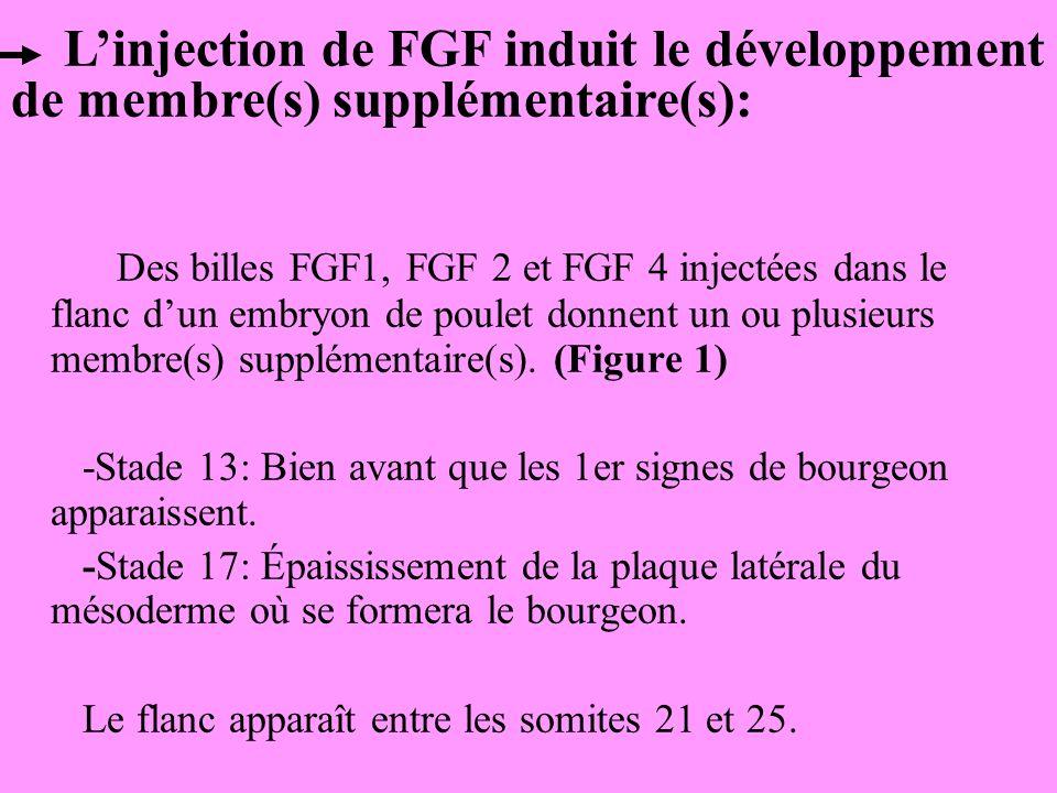 L'injection de FGF induit le développement de membre(s) supplémentaire(s):