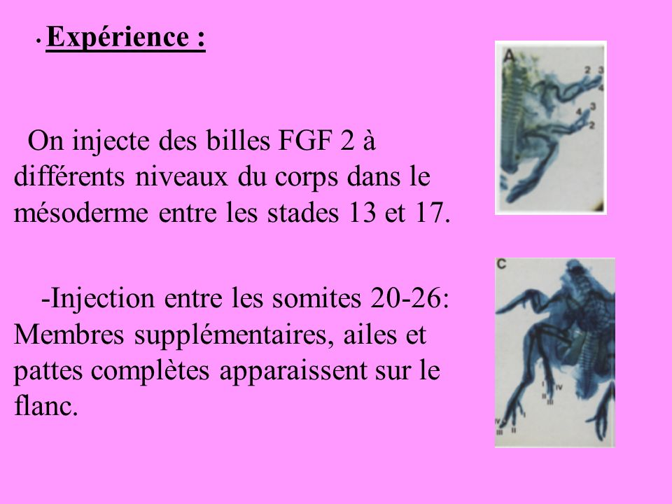 Expérience : On injecte des billes FGF 2 à différents niveaux du corps dans le mésoderme entre les stades 13 et 17.