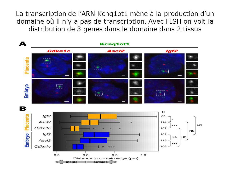 La transcription de l'ARN Kcnq1ot1 mène à la production d'un domaine où il n'y a pas de transcription.