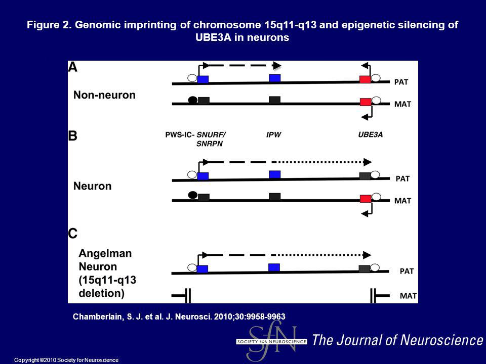 Figure 2. Genomic imprinting of chromosome 15q11-q13 and epigenetic silencing of UBE3A in neurons