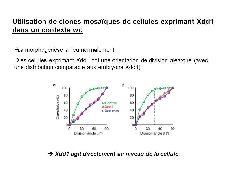 Utilisation de clones mosaïques de cellules exprimant Xdd1 dans un contexte wt: