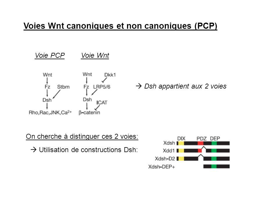 Voies Wnt canoniques et non canoniques (PCP)