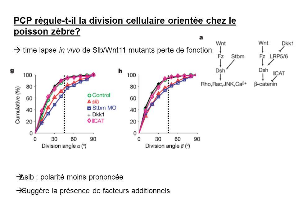 PCP régule-t-il la division cellulaire orientée chez le poisson zèbre