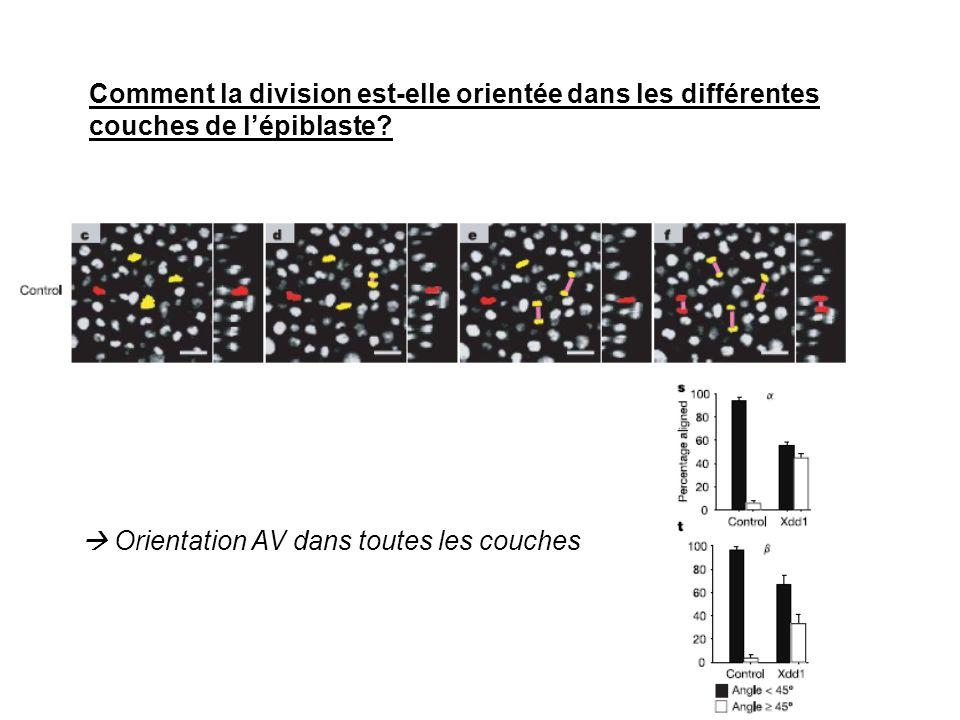 Comment la division est-elle orientée dans les différentes couches de l'épiblaste
