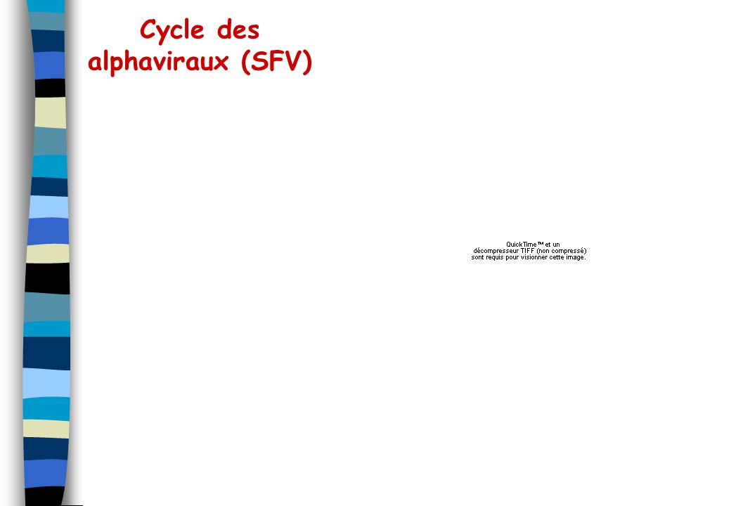 Cycle des alphaviraux (SFV)