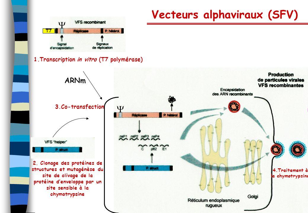 Vecteurs alphaviraux (SFV)