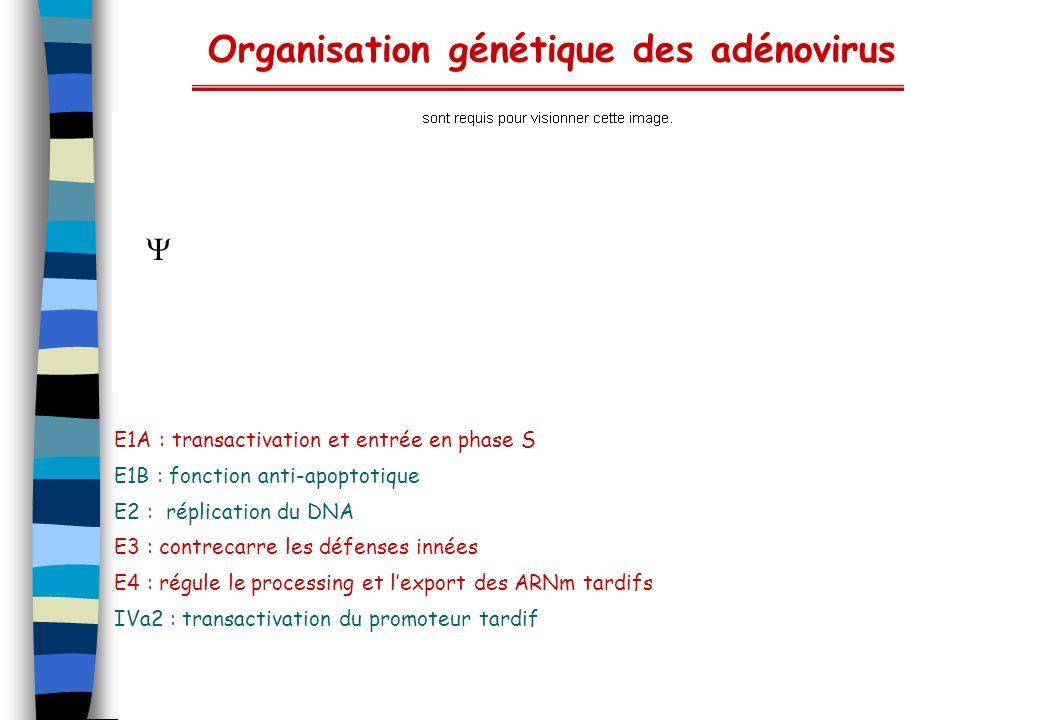 Organisation génétique des adénovirus