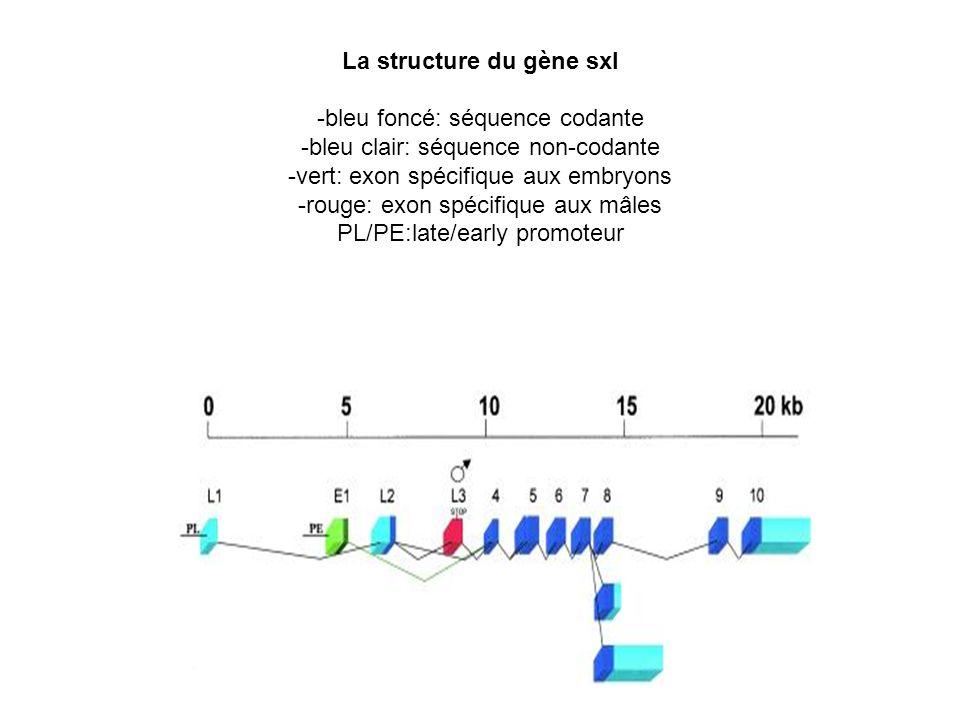 La structure du gène sxl -bleu foncé: séquence codante -bleu clair: séquence non-codante -vert: exon spécifique aux embryons -rouge: exon spécifique aux mâles PL/PE:late/early promoteur