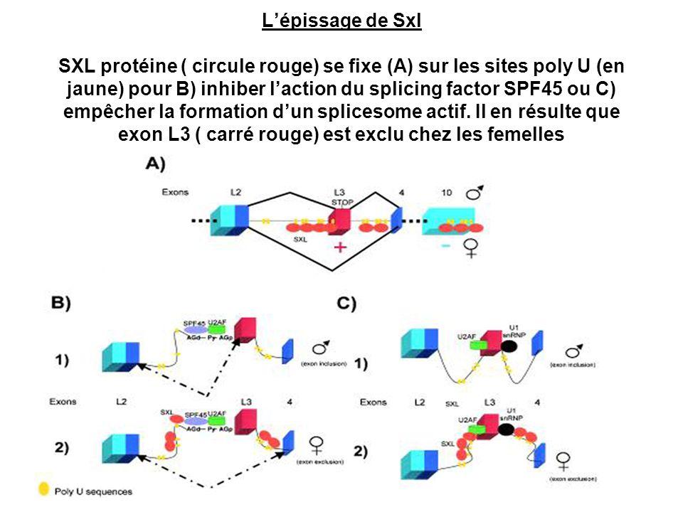 L'épissage de Sxl SXL protéine ( circule rouge) se fixe (A) sur les sites poly U (en jaune) pour B) inhiber l'action du splicing factor SPF45 ou C) empêcher la formation d'un splicesome actif.