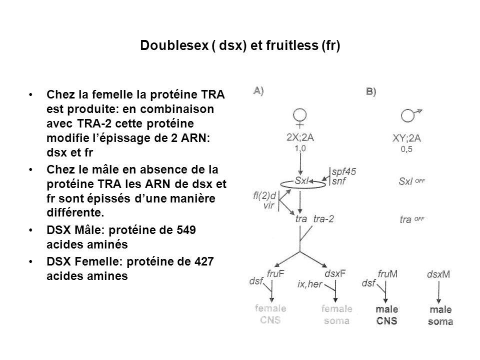 Doublesex ( dsx) et fruitless (fr)