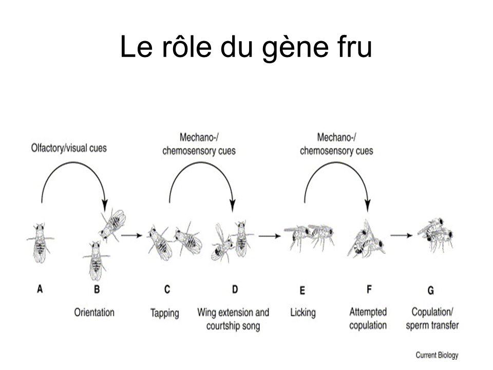 Le rôle du gène fru
