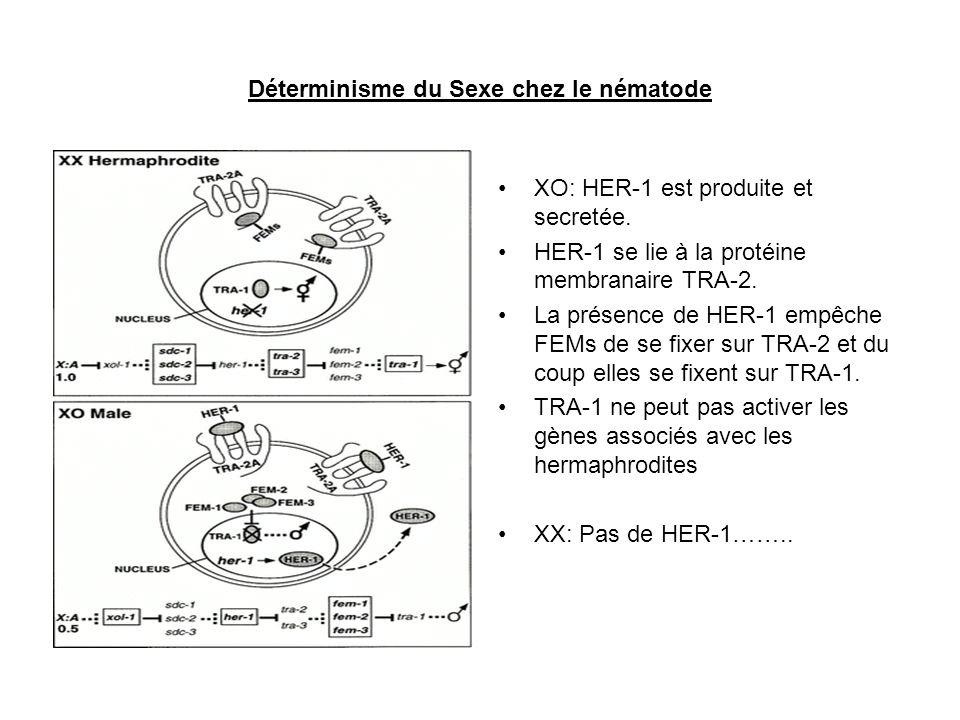 Déterminisme du Sexe chez le nématode