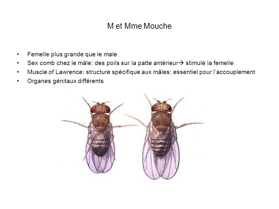 M et Mme Mouche Femelle plus grande que le male
