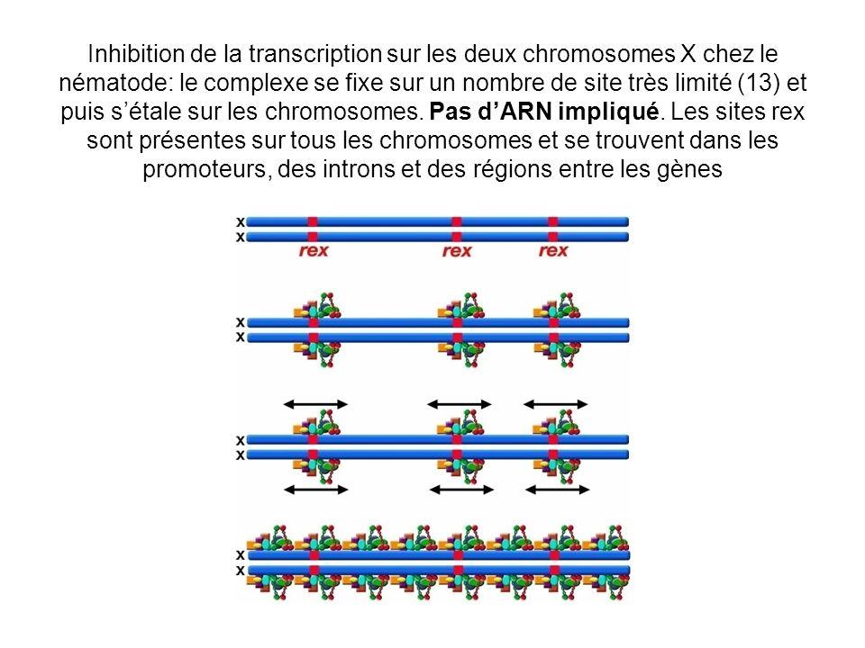 Inhibition de la transcription sur les deux chromosomes X chez le nématode: le complexe se fixe sur un nombre de site très limité (13) et puis s'étale sur les chromosomes.
