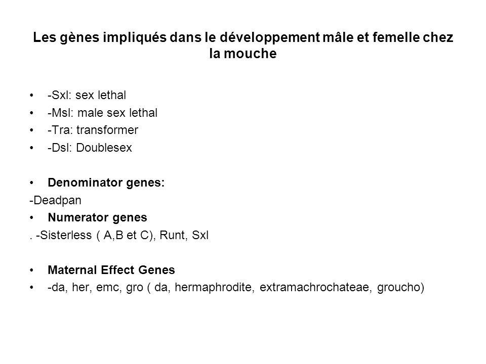 Les gènes impliqués dans le développement mâle et femelle chez la mouche