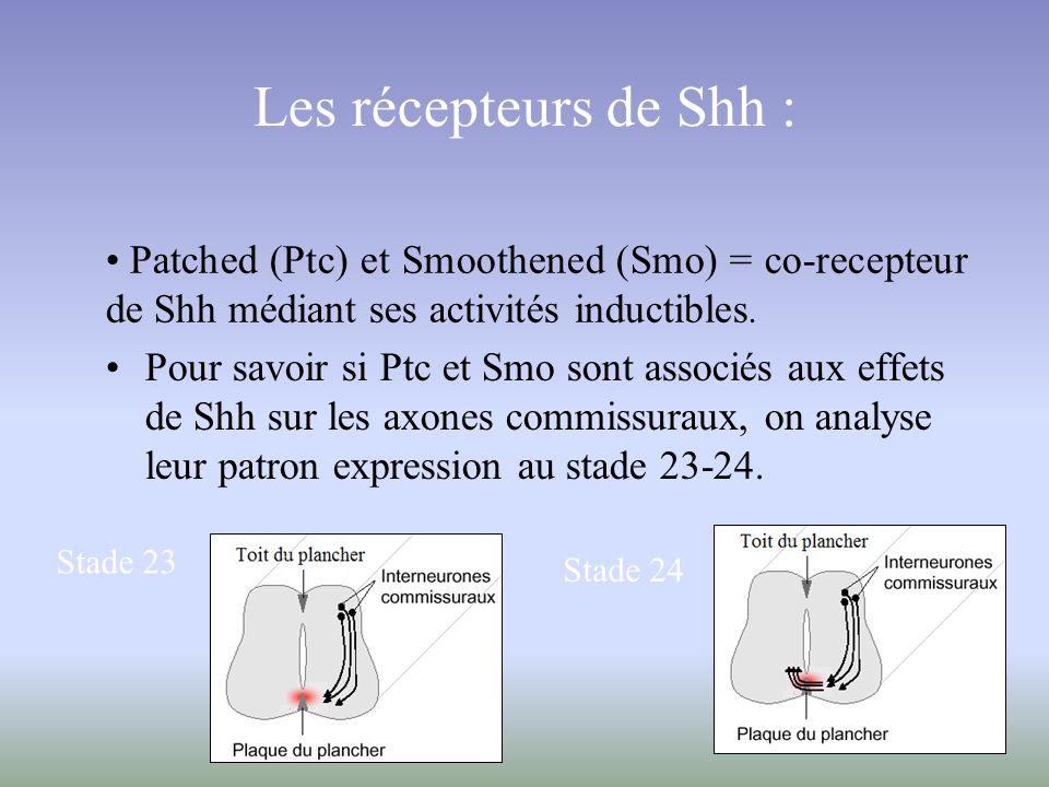 Les récepteurs de Shh : Patched (Ptc) et Smoothened (Smo) = co-recepteur de Shh médiant ses activités inductibles.