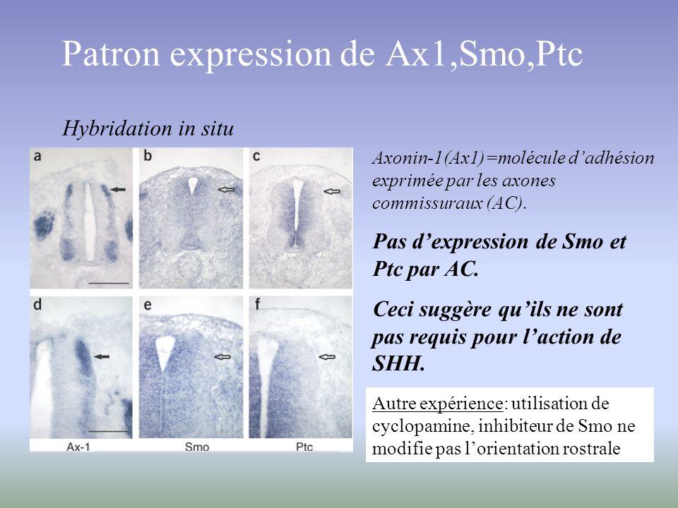 Patron expression de Ax1,Smo,Ptc