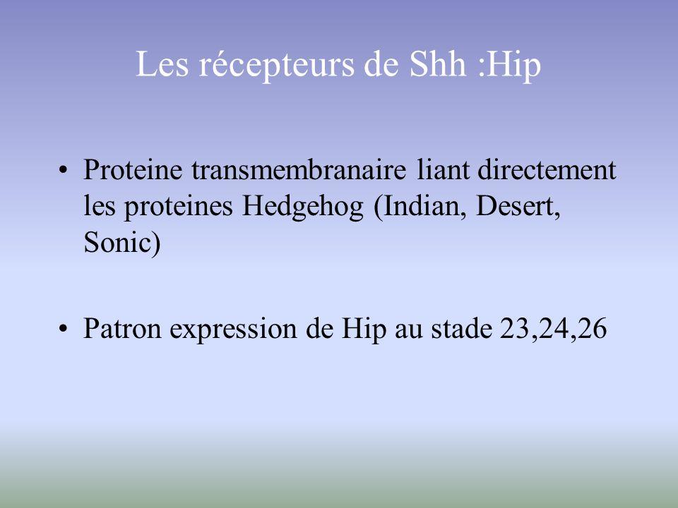 Les récepteurs de Shh :Hip