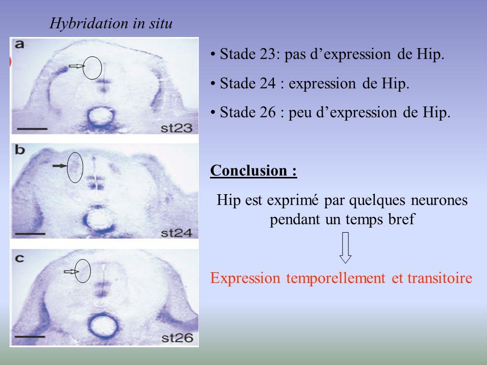 Hip est exprimé par quelques neurones pendant un temps bref