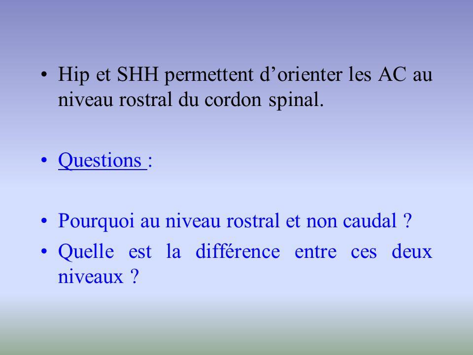 Hip et SHH permettent d'orienter les AC au niveau rostral du cordon spinal.