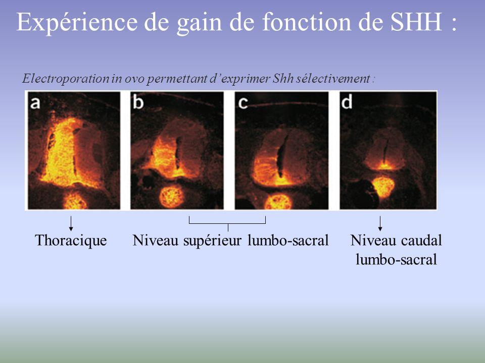 Expérience de gain de fonction de SHH :
