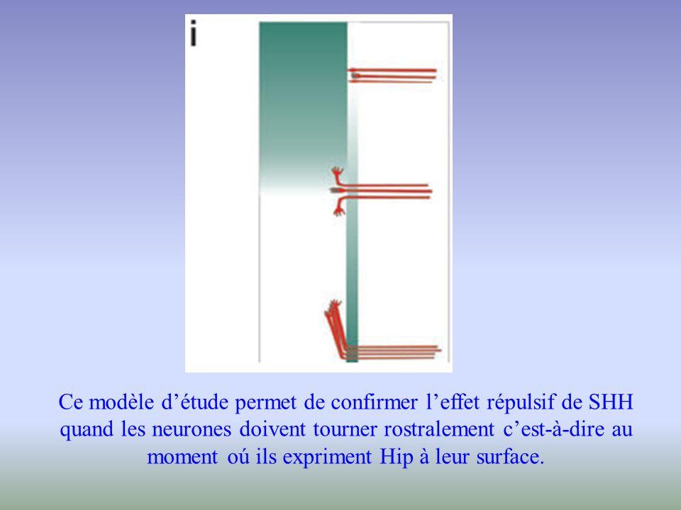 Ce modèle d'étude permet de confirmer l'effet répulsif de SHH quand les neurones doivent tourner rostralement c'est-à-dire au moment oú ils expriment Hip à leur surface.