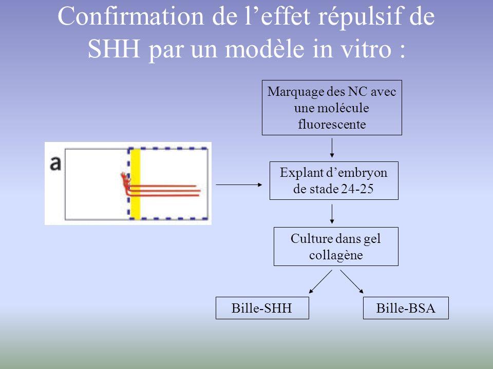 Confirmation de l'effet répulsif de SHH par un modèle in vitro :
