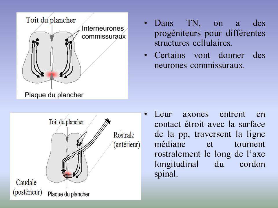 Dans TN, on a des progéniteurs pour différentes structures cellulaires.