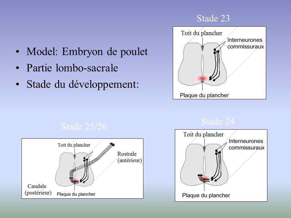 Model: Embryon de poulet Partie lombo-sacrale Stade du développement: