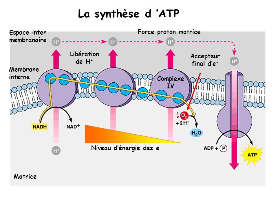 La synthèse d 'ATP Espace inter-membranaire Force proton motrice