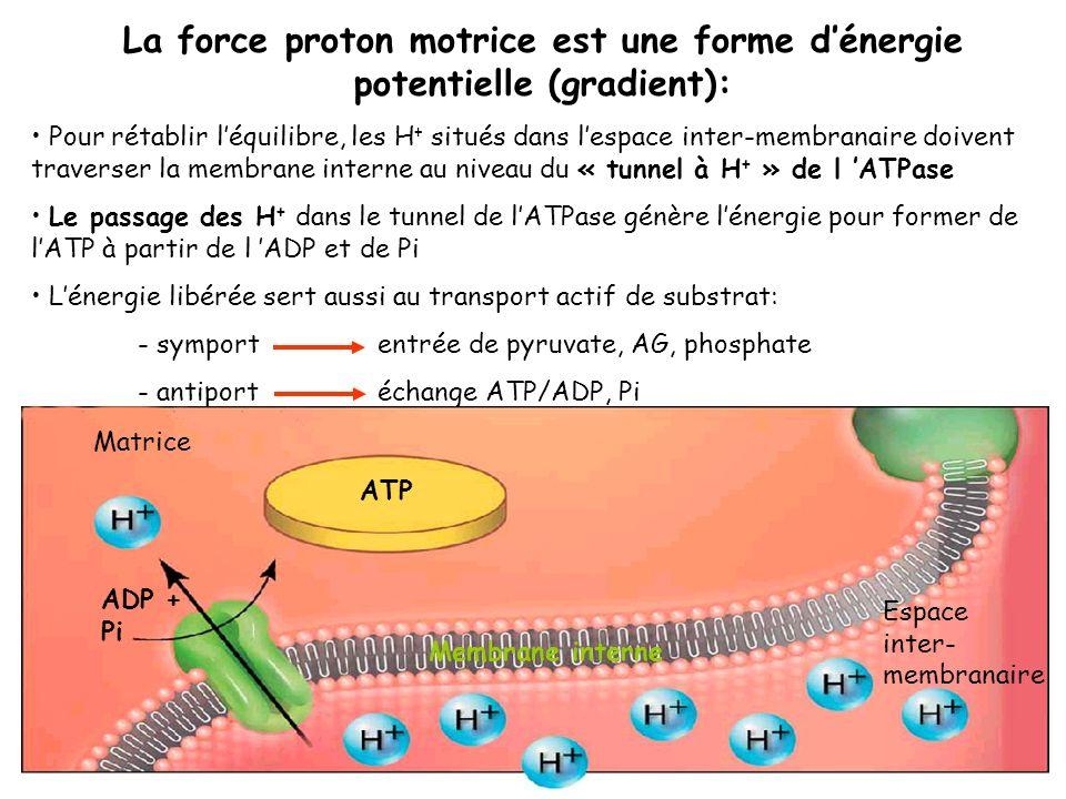 La force proton motrice est une forme d'énergie potentielle (gradient):