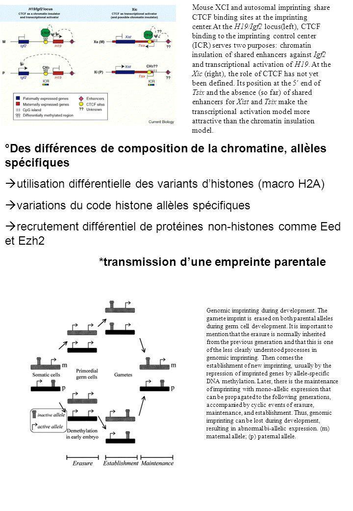 °Des différences de composition de la chromatine, allèles spécifiques