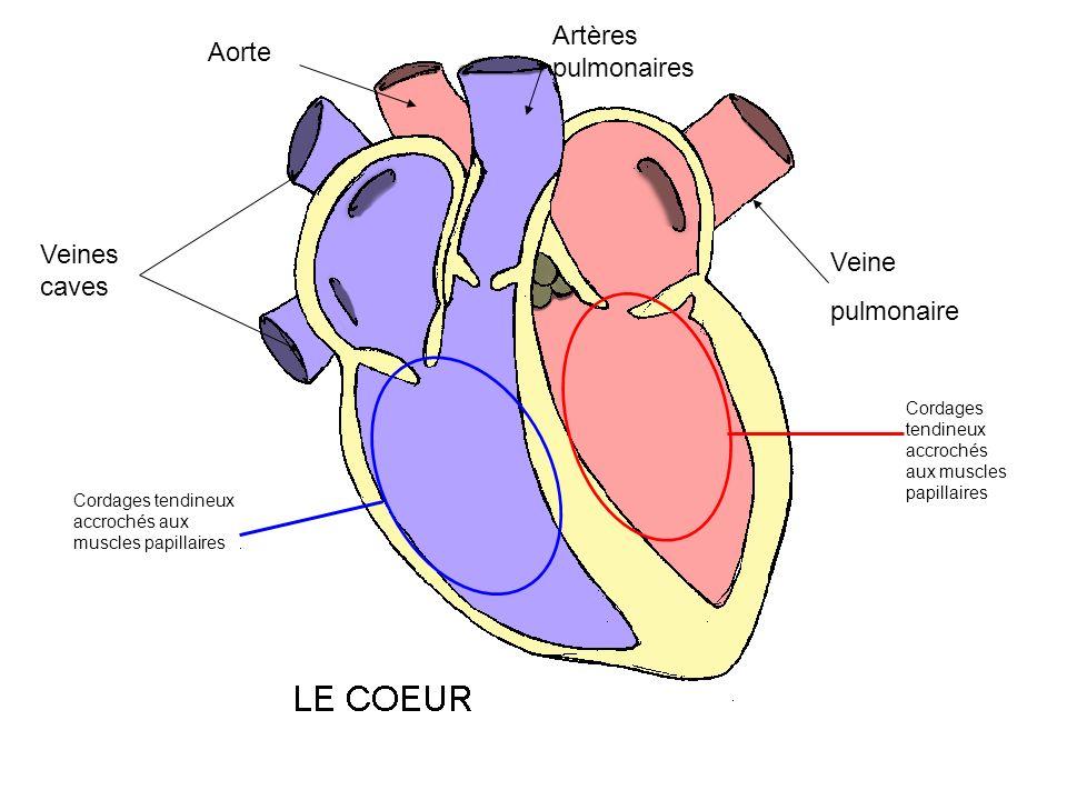 Artères pulmonaires Aorte Veines caves Veine pulmonaire