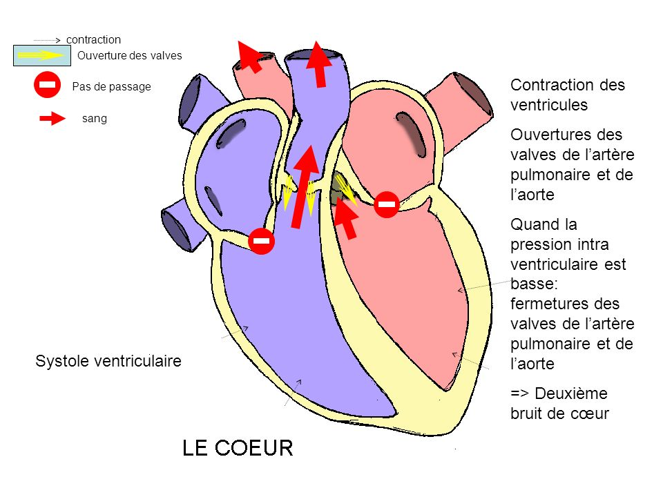 Contraction des ventricules