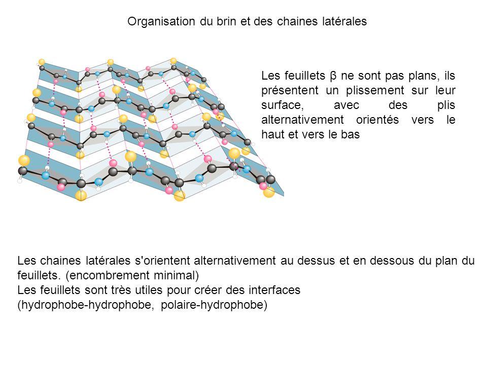 Organisation du brin et des chaines latérales